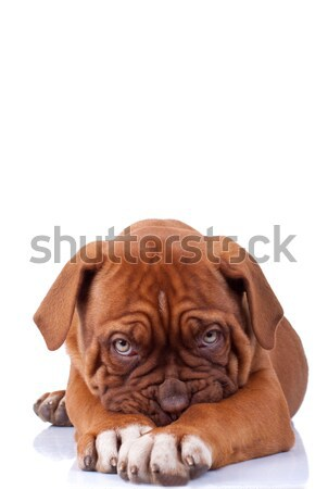 Félénk kutyakölyök Bordeau francia masztiff néz Stock fotó © feedough