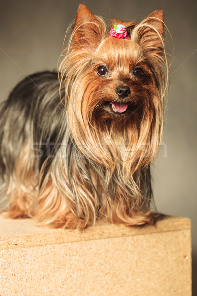 small yorkie standing on a wooden box with copy space under it Stock photo © feedough