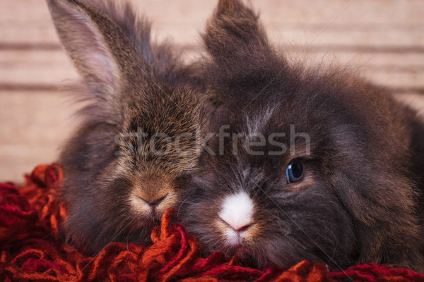 lion head rabbit bunnys lying together on a red scarf. Stock photo © feedough
