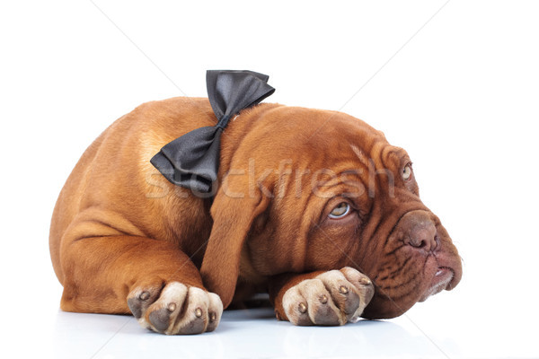 tired dogue de brdeaux puppy wearing bowtie is resting Stock photo © feedough