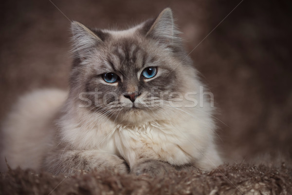 amazing cat with blue eyes lying on a furry background Stock photo © feedough