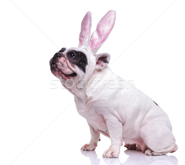 Oldalnézet ülő francia bulldog visel húsvéti nyuszi Stock fotó © feedough