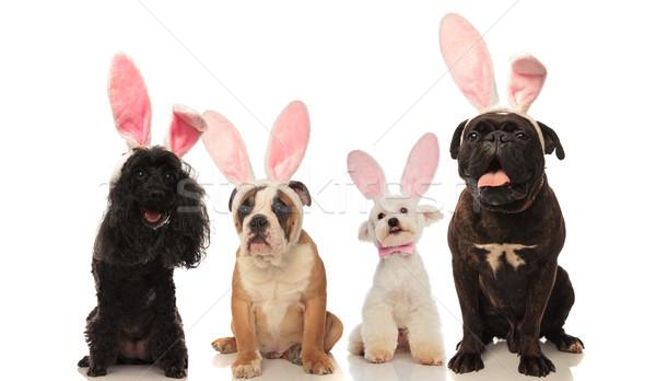 Vier aanbiddelijk honden Easter Bunny oren Stockfoto © feedough