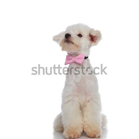 curious elegant bichon looking up to side while sitting Stock photo © feedough