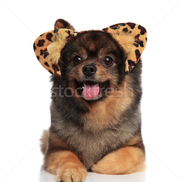 Stock photo: adorable pomeranian with leopard ears relaxes and looks to side