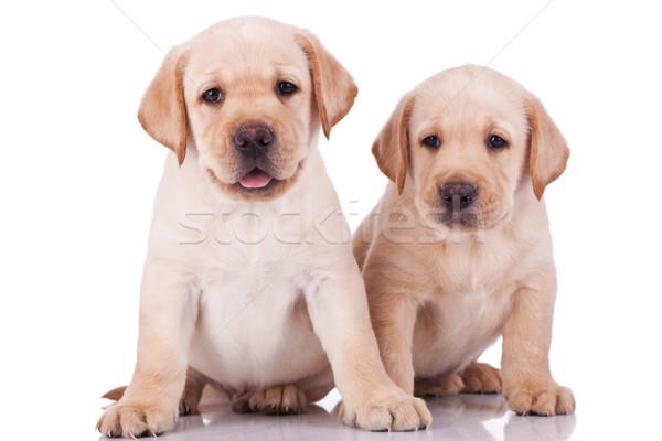 Peu labrador retriever chiots haletant deux adorable Photo stock © feedough