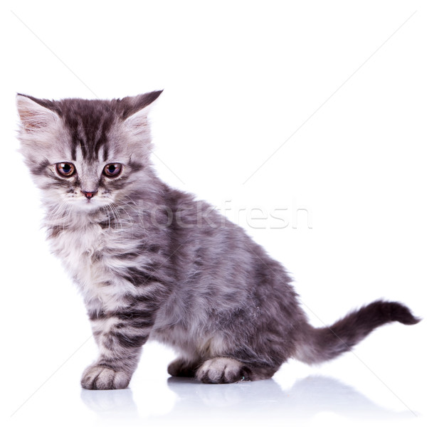 cute silver tabby baby cat Stock photo © feedough