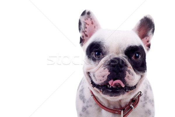 panting French Bulldog Stock photo © feedough