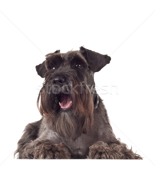 small curious Schnauzer Stock photo © feedough