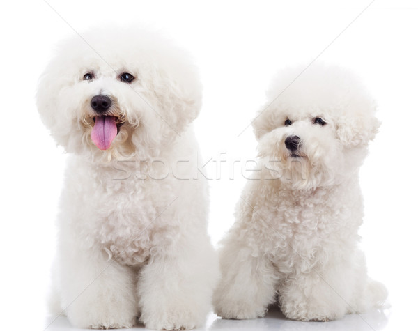 two curious bichon frise puppy dogs Stock photo © feedough