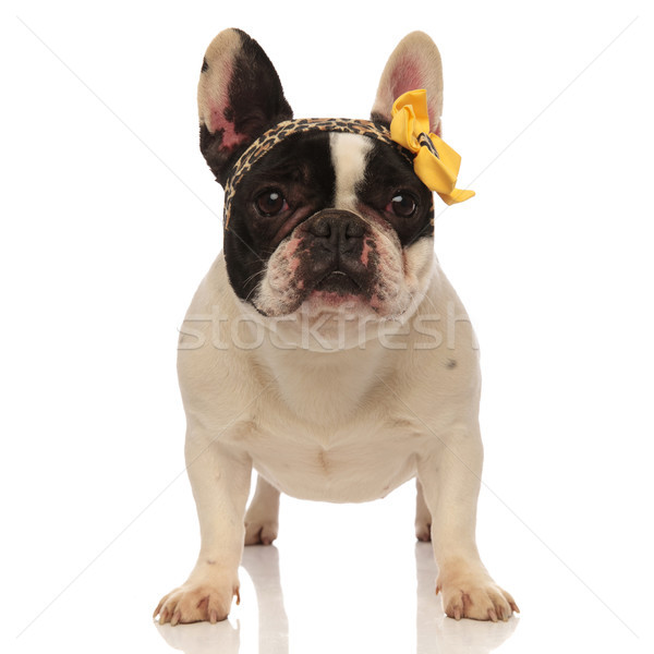 lovely bulldog wearing leopard headband with yellow ribbon Stock photo © feedough
