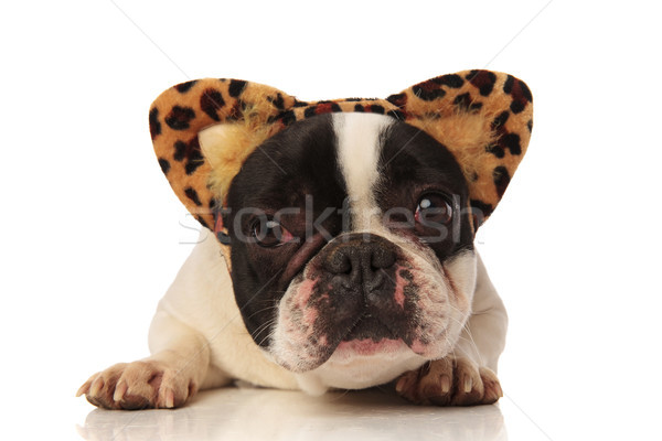 adorable french bulldog with leopard ears headband Stock photo © feedough