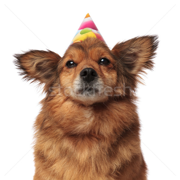 close up of brown furry dog with birthday hat Stock photo © feedough