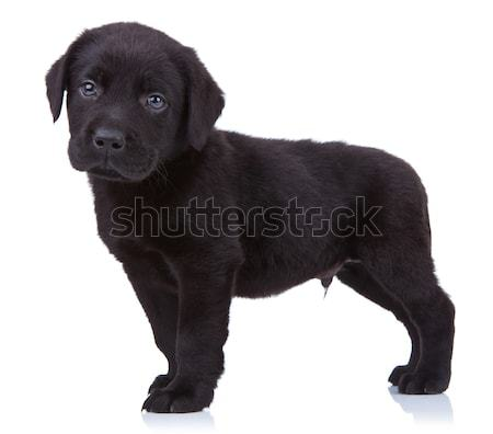 Curioso negro labrador labrador retriever cachorro pie Foto stock © feedough