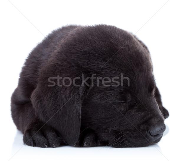 álmos szőr labda aranyos labrador retriever kutyakölyök Stock fotó © feedough