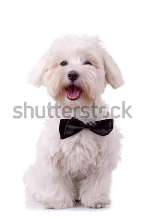 Bichon Frise looks handsome  Stock photo © feedough