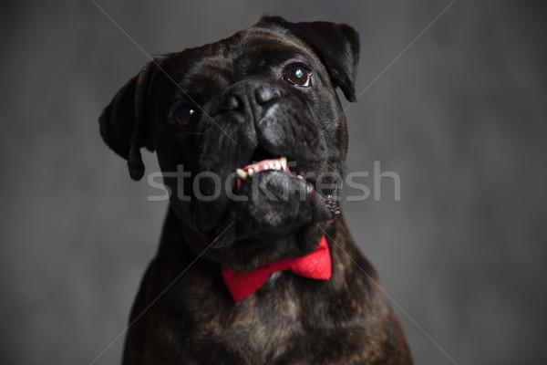 Zarif boksör köpek açık ağız gri Stok fotoğraf © feedough