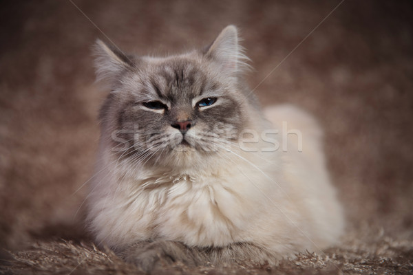 arrogant beautiful cat lying on fur background  Stock photo © feedough