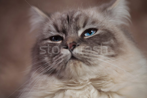 closeup of a cool arrogant looking cat Stock photo © feedough