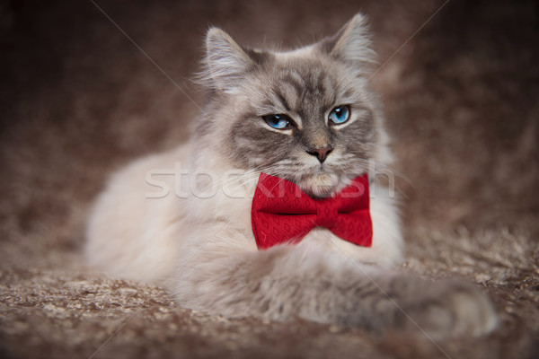 elegant beautiful cat wearing red bowtie Stock photo © feedough