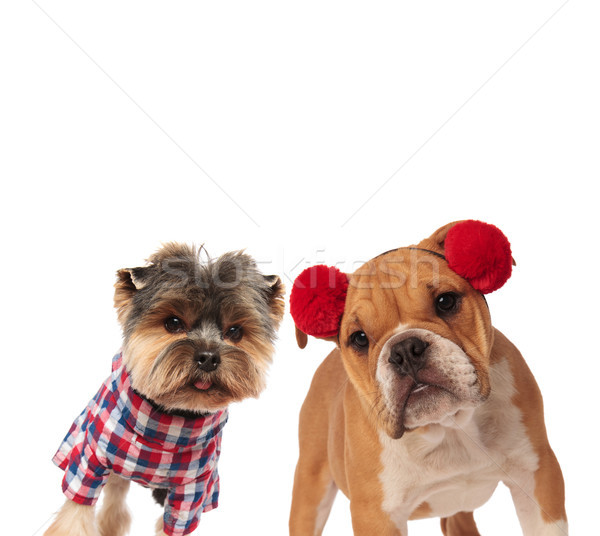 Curioso yorkshire terrier Inglés bulldog halloween Foto stock © feedough
