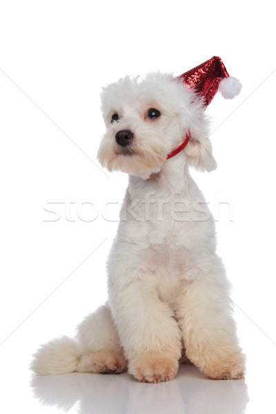 lovely white bichon sitting and waiting for christmas  Stock photo © feedough