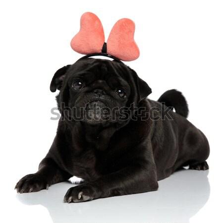 Imádnivaló zihálás francia bulldog piros külső Stock fotó © feedough