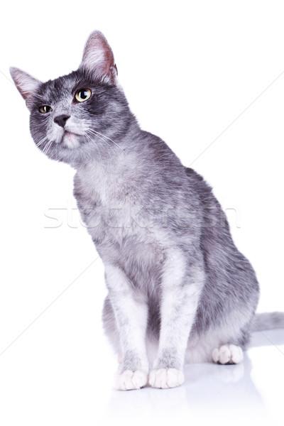suspicious gray cat Stock photo © feedough