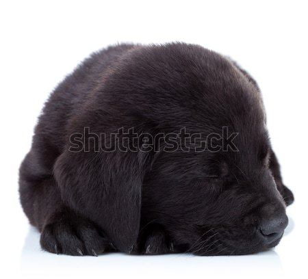 Zwarte labrador retriever puppy cute weinig naar Stockfoto © feedough