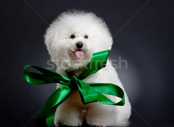 bichon frise wearing a big green ribbon Stock photo © feedough