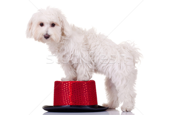 bichon standing on a hat Stock photo © feedough