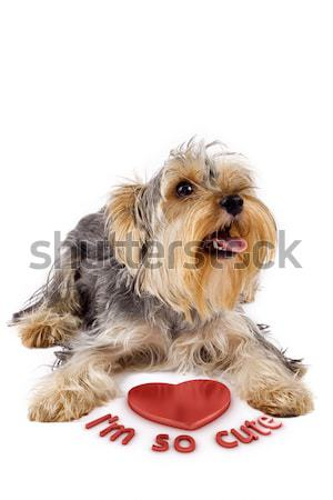 Yorkshire terrier 3D coeur photos Photo stock © feedough