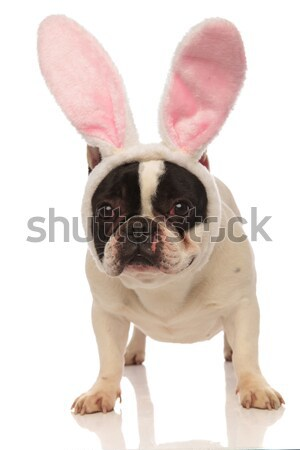 french bulldog wearing bunny ears and licking its nose Stock photo © feedough