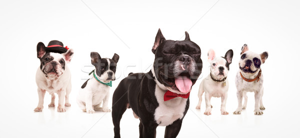 french bulldog with mouth open and eyes closed near friends Stock photo © feedough