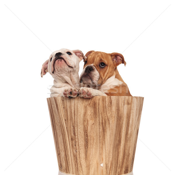 two english bulldog puppies in a bucket look up  Stock photo © feedough
