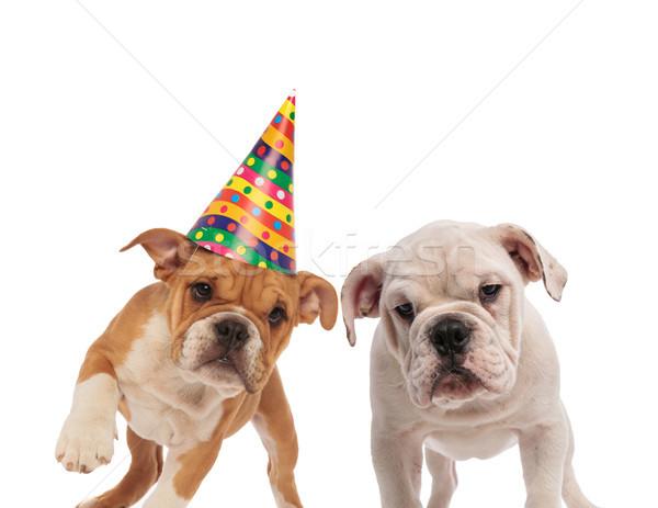 brown and white english bulldog couple celebrating birthday Stock photo © feedough