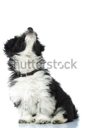 çok güzel havanese oturma beyaz köpek Stok fotoğraf © feedough