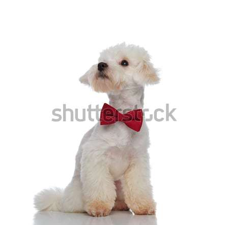 distracted seated white bichon with red bowtie looks behind Stock photo © feedough
