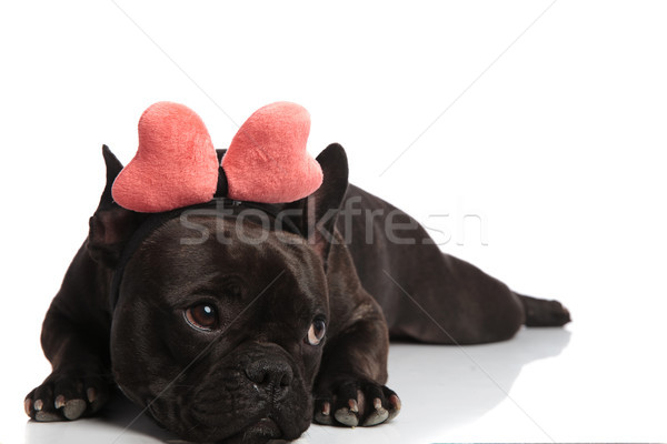 cute lying bulldog with red bone headband looks to side Stock photo © feedough