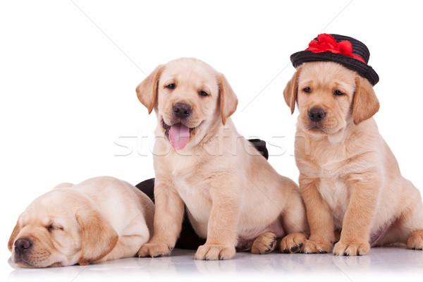 Stock fotó: Kicsi · labrador · retriever · kiskutyák · fehér · egy · kalap