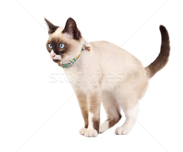 Sziámi macska kép kész támadás fehér szemek Stock fotó © feedough