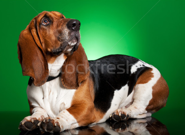 basset dog on green background Stock photo © feedough