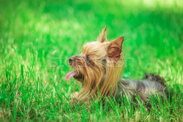 Oldalnézet aranyos Yorkshire terrier kutyakölyök kutya Stock fotó © feedough
