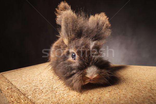 furry lion head rabbit bunny lying on a wood box. Stock photo © feedough