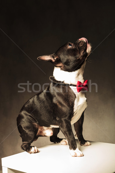 side view of an adorable french bulldog  licking his nose Stock photo © feedough