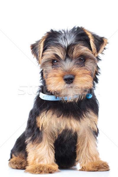 愛らしい ヨークシャー テリア 子犬 座って ストックフォト © feedough