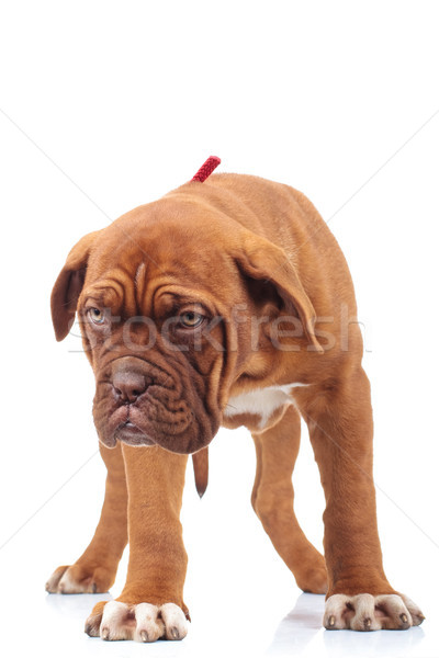 curious little dogue de bordeaux puppy looks down  Stock photo © feedough