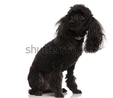 Siyah kaniş oturma beyaz köpek mutlu Stok fotoğraf © feedough