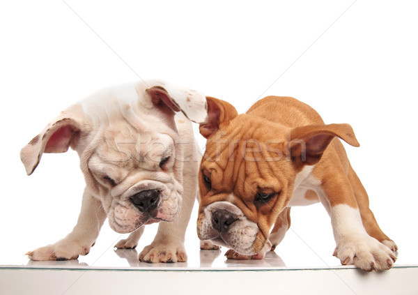 two curious english bulldog puppies looking at something below t Stock photo © feedough