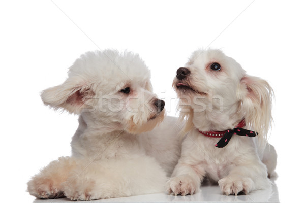 Stock photo: lying bichon couple looking up and to side